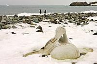 Beach with whale bones vertebra, Penguin Island, South Shetland Islands, Antarctica
