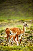 guanaco Lama guanicoe female and lactating 'chulengo'