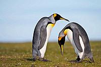 A pair of King Penguin Aptenodytes patagonicus perform a courtship ritual display, Falkland Islands, South Atlantic Ocean