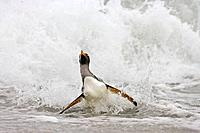 Gentoo Penguin Pygoscelis papua papua in the surf, Falkland Islands, South Atlantic Ocean