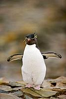 Rockhopper penguin Eudyptes chrysocome