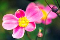 Pink Japanese Anemones. Anemone hupehensis. September 2006, Maryland, USA