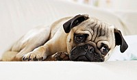 pug _ lying restrictions: Tierratgeber_Bücher / animal guidebooks