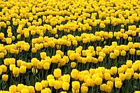 Skagit Valley Flower Farms grow both tulips and daffodils. Every spring the valley explodes with colorful flower blooms.