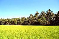 India _ Goa _ Rice Field