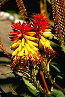 Spain _ Canary Islands _ Flower
