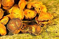 Yanhusuo, Corydalis Yanhusuo Rhizoma, Yan Hu Suo