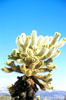 USA _ National Park _ Californie _ Joshua Tree _ Cholla Garden