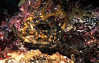 Eastern Atlantic. Galicia. Spain. Mating of little cape town lobster. Scyllarus arctus