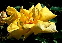 Rosa _ yellow _ voluptus temptation
