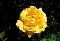 Rosa _ yellow _ rounded and feminine _ soft appeal