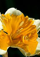 Narcissus _ a yellow petticoat _ attraction is the name of the game