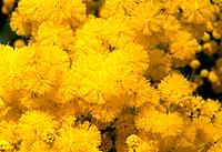 Acacia dealbata _ golden yellow explosion _ a cheerful winter transport _ enchanting fragrance