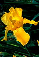 Iris rhizomatous _ the sun magnifies a yellow floral treasure