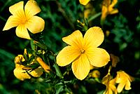 Linum campanulatum - yellow - saucer-shaped (thumbnail)