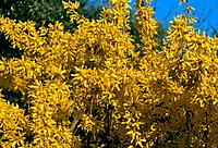 Forsythia intermedia _ exuberant yellow branches signal of ending winter