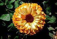 Calendula officinalis _ a fairy gipsy outfit _ beware of falling in love with me