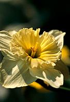 Narcissus _ pale yellow frills and glowing communication with sun rays