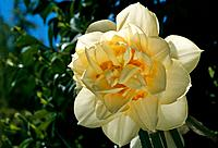 Narcissus _ pale yellow and golden amber _ well displayed ruffles _ playing the film star in the sun light