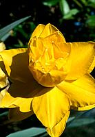 Narcissus _ yellow _ double _ tiny white tips