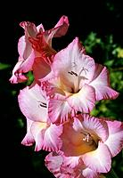Gladiolus Iridaceae _ pale pink _ edged with darker pink _ cheerful and graceful cluster
