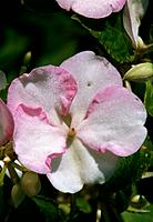Impatiens Walleriana _ pale pink _ timid _ subtle