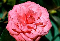 Camellia _ pink _ sheer elegance and style in morning dew