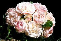 Rose _ a bunch of pink roses _ full_blown and timid buds