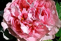 Paeonia _ tender pink ruffles _ last drops of morning dew evaporate in the morning sun