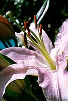 Lilium _ pale lilac with freckles _ a fragrant flower with evident elements of seduction