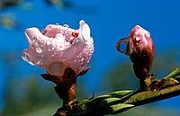 Prunus persica _ pale pink buds _ rain drops in the sun and blue sky _nature's balance