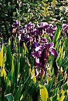 Iris rhizomatous _ purple _ transparent petals and leaves in sun rays