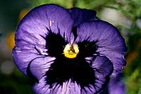 Viola x wittrockiana _ purple _ expressive flat_face _ startled