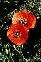 Papaver rhoeas _ red _ blooming confidence _ conspicuous heart of black stamens