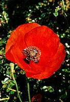 Papaver rhoeas _ red _ blooming confidence _ conspicuous heart of brown stamens