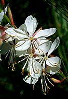 Gaura lindheimeri _ white _ ornemental _ enticing