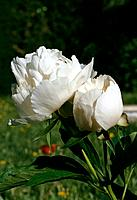 Paeonia _white_ a bunch of two pretty flowers with a delicate spring fragrance