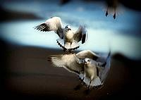 Seagulls flying in winter