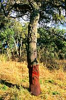 Italy - Sardinia - North Region - Oak tree - Liege (thumbnail)