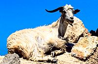 Greece _ Crete _ Goat