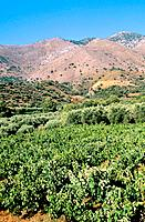 Greece _ Crete _ Vine _ Kouloukonus Region