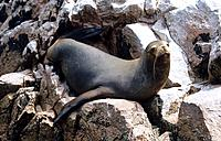 Peru _ Paracas _ Islas Ballestas _ Sea_lions