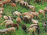 Sheeps Ovis canadensis and goats walking in groups and eating grass  Pune, Maharashtra, India