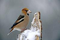 Hawfinch in wintertime with snow (Coccothraustes coccothraustes)