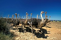 South African Ostrich,Struthio camelus australis,Oudtshoorn,Karoo,South Africa,Africa,group of adult females at ostrich farm