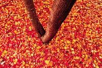 Fallen Maple Leaves,Korea