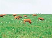 Korean Native Cattle,Gangwon,Korea