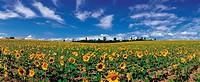 Sunflower,Hokkaido,Japan