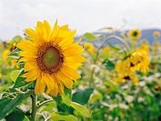 Sunflower,Poun_gun,Chungbuk