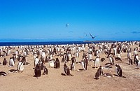 gentoo penguins _ colony /